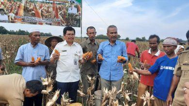 Photo of Berkat Program Korporasi Jagung, Lampung Timur Siap Jadi Sentra Benih